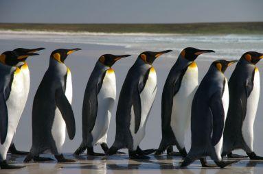 falkland_islands_penguins_40